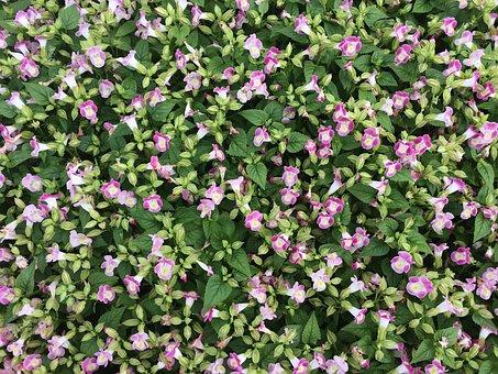 Flowers, Pink, Floret, Otsu Park, Yokosuka, Japan