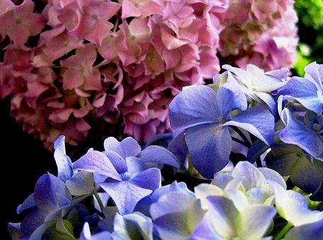 Christmas Rose, Pink, Blue, Petals, Florets