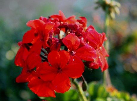 Flower, Red, Petals, Dainty, Soft, Florets, Stalk