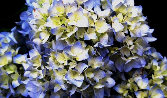Flowerhead, Florets, Hydrangea, Christmas Rose, Petals