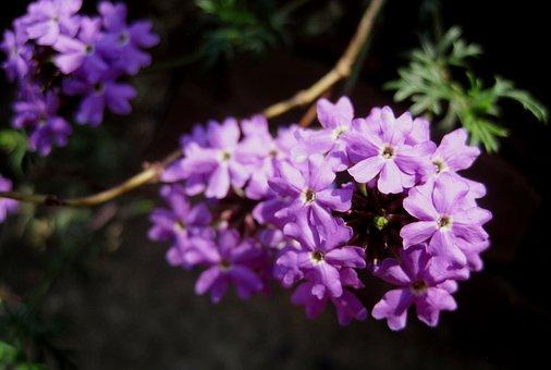 Flower, Florets, Composite, Purple, Violet, Dainty