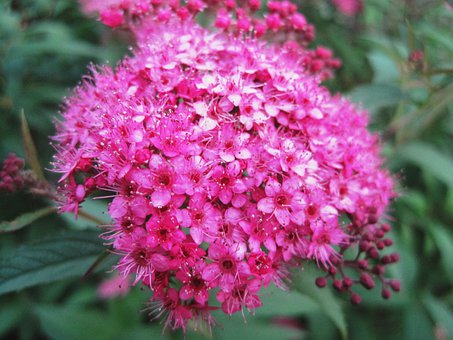 Flowerhead, Florets, Pink, Bright, Small, Delicate