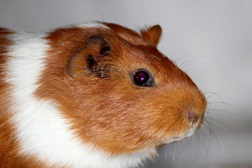 Guinea Pig, Animals, Pets, Home