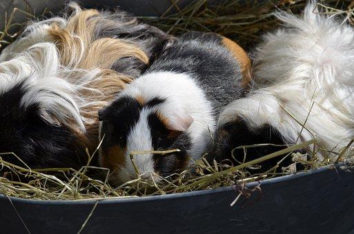 Guinea Pig, Colorful, Lure, Back Light, Beautiful