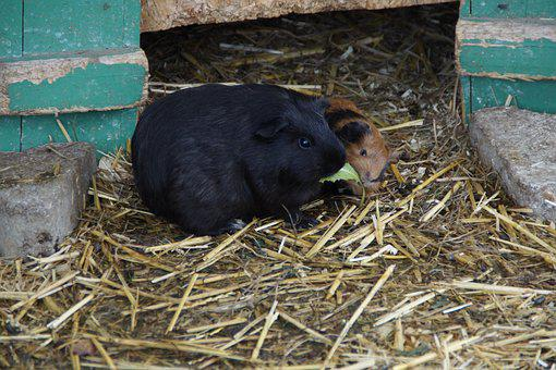Guinea Pig, Guinea Pig Breeding, Breeding