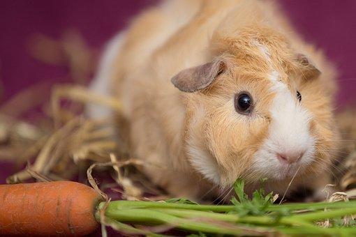 Guinea Pig, Pet, Nager, Scorpionfish, Rodent, Rosette