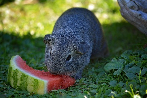 Guinea Pig, Young Animal, Smooth Hair, Rodent, Nager