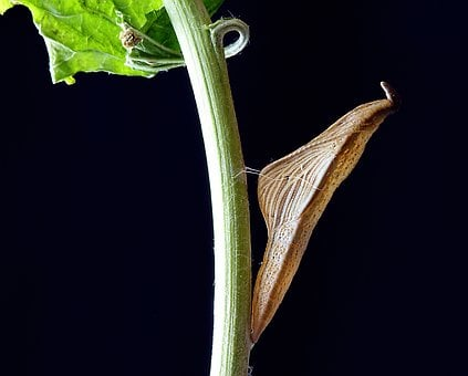 Cocoon, Pupa, Chrysalis, Insect, Butterfly, Hanging