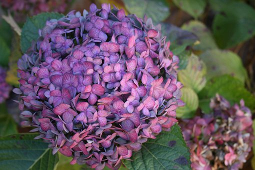 Flower, Bloom, Round, Head, Purple-blue, Florets, Small