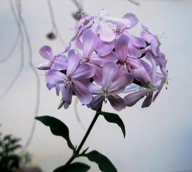 Soapwort, Flowerhead, Florets, Dainty, Pink, Herb