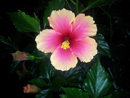 Flower, Cocoon, Nature, Hibiscus, Rose China
