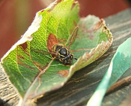 Wasp, Nature, Sting, Bee, Black, Honey, Dangerous