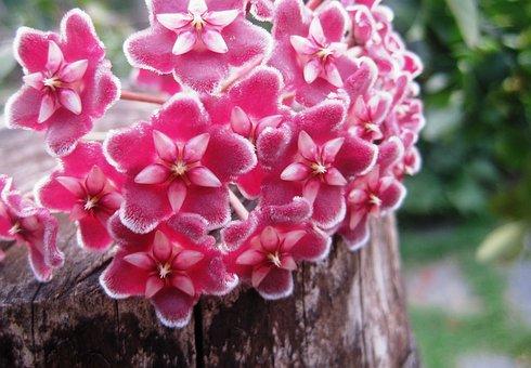 Hoya, Wax Plant, Flowers, Florets, Pink, Velvety, Waxy