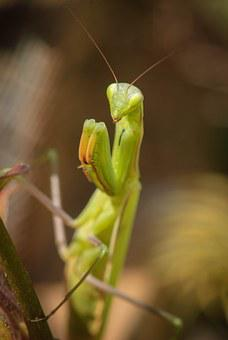 Praying Mantis, Nature, Fishing Locust, Macro, Insect