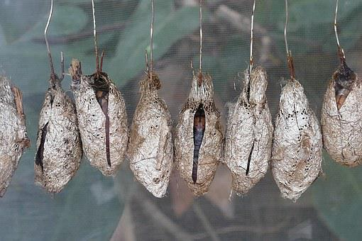 Chrysalis, Cocoon, Nature, Insect, Animal, Larva