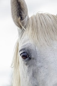 Horse, White Horse, Irish Horse, Horse Ear, White