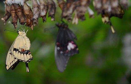 Swallowtail Butterfly, Cocoons, Larva, Larvae