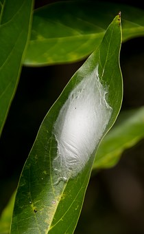 Larval Cocoon, Cocoon, Web, Insect, White, Silken, Leaf
