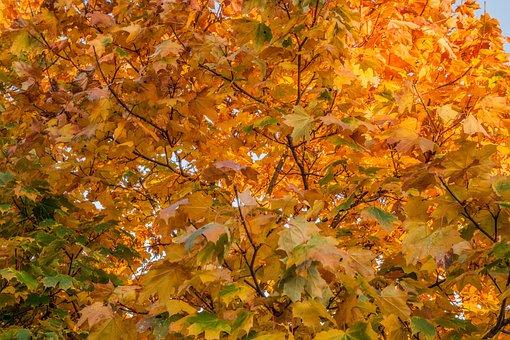 Autumn, Leaves, Maple, Fall, Nature, Leaf, Season