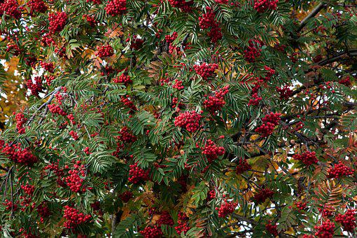 Autumn, Rowan, Mountain Ash, Leaves, Fall, Nature, Leaf