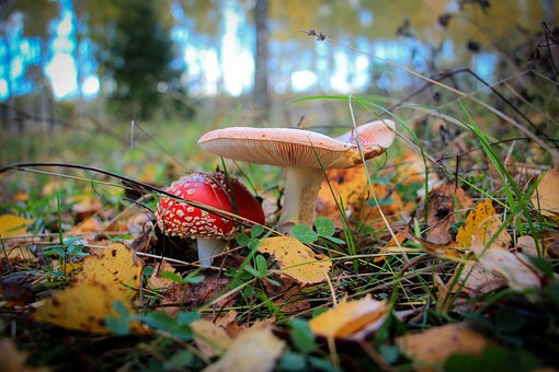 Mushrooms, Amanita, Forest, Leaves, Nature