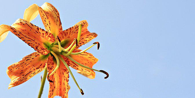 Lily, Flower, Lily Family, Sky, Nature, Summer, Orange