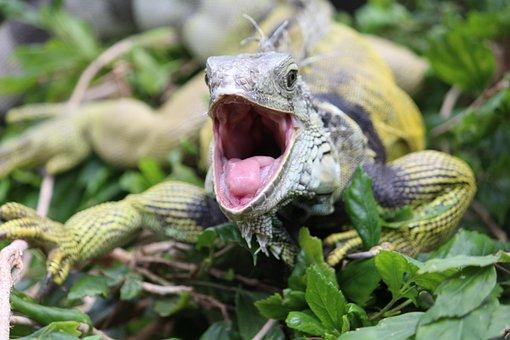 Iguana, Foot, Dangerous, Tooth, Animal, Lizard, Nature