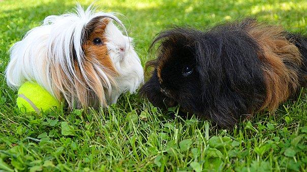 Black, White, Guinea Pig, Long-haired Guinea Pig
