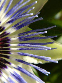 Macro, Passion Flower, Graphically, Blossom, Bloom