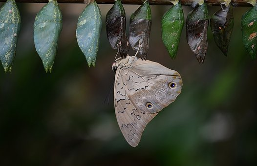 Butterfly, Cocoons, Larva, Larvae, Insect Larvae, Macro