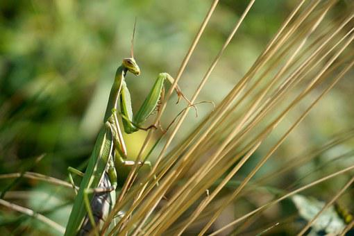 Praying Mantis, Insect, Green, Fishing Locust, Macro