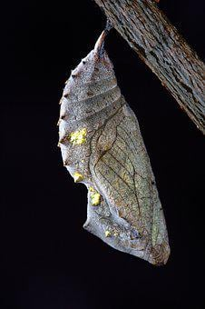 Chrysalis, Macro, Close Up, Cocoon, Pupa, Metamorphosis
