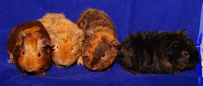 Guinea Pig, Cute, Fur, Nager, Young Animals, Small