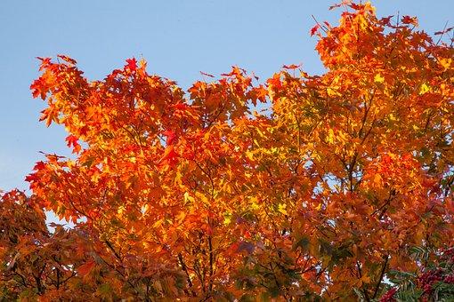 Autumn, Orange, Leaves, Maple, Fall, Nature, Leaf
