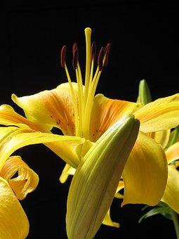 Lily, Pyrenees Lily, Lilium Pyrenaicum, Nature, Flower