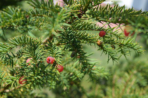 Yew, Needles, European Yew, Yellow Spikes