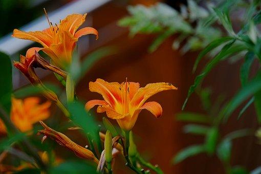 Flower, Flowers, Orange, Summer, Garden, Dahlia