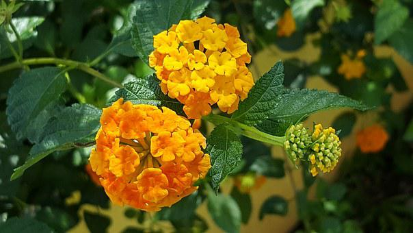 Cariaquillo, Flowers, Tropical, Orange Petals, Ageratum