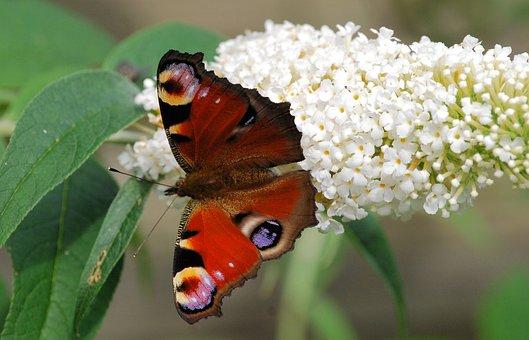 Peacock Butterfly, Wings, Open, Buddleia, Wildflower