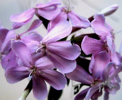Flowerhead, Florets, Daintey, Pink, Soapwort, Herb