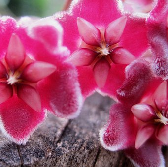 Waxplant, Hoya, Pink, Florets, Velvety, Waxy
