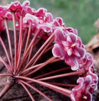 Waxplant, Hoya, Pink, Flowerhead, Florets, Velvety