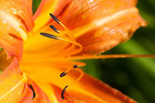 Daylily, Hemerocallis, Day Lily Plants, Flower, Plant