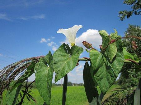 Sky, Clouds, Calystegia Sepium, Plant, Plants, Flower