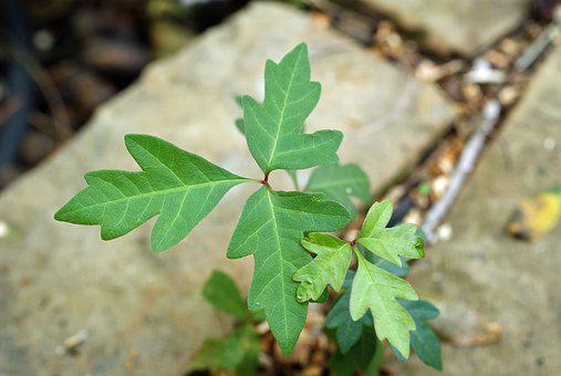 Poison Ivy, Leaves Of Three, Blisters, Danger, Vine