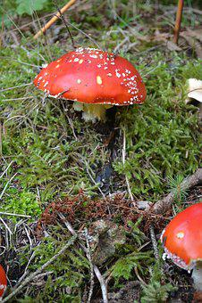 Fly Agaric, Mushrooms, Amanita Muscaria, Poisonous, Red