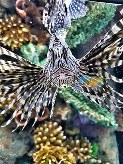Lionfish, Poisonous, Nature, Animal, Venom