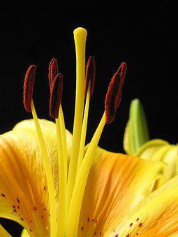 Lily, Pyrenees Lily, Lilium Pyrenaicum, Yellow, Flower