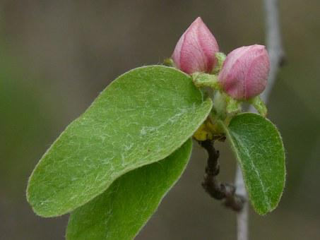 Cocoon, Quince, Quince Flower, Beauty