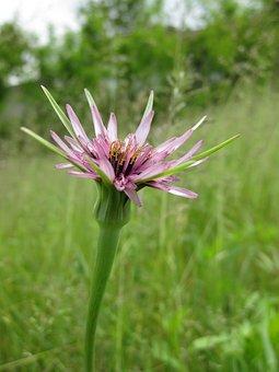 Flower, Violet, Rosa, Beard, Beak, Prato, Nature